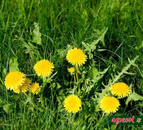 dorwać chwasta, zwalczanie chwastów, odchwaszczanie trawnika