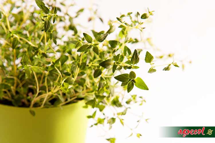 uprawa ziół, zioła w ogrodzie, zioła w domu, zioła na parapecie, nawożenie ziół, nawóz do ziół