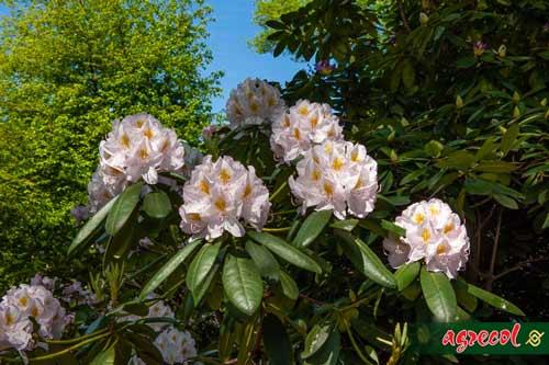 rododendron, pielęgnacja rododendronów, uprawa rododendronów