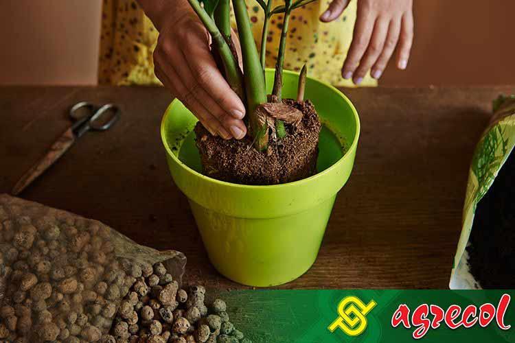 jak przesadzać rośliny doniczkowe, przesadzanie roślin doniczkowych, przesadzanie roślin zielonych, przesadzanie roślin domowych