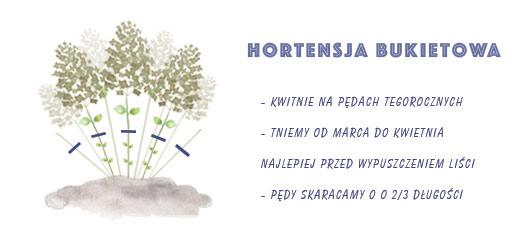 hortensja bukietowa – cięcie