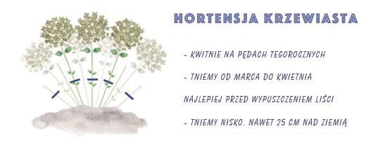 hortensja krzewiasta - przycinanie