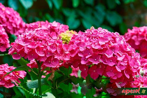 hortensja ogrodowa różowa, przycinanie hortensji