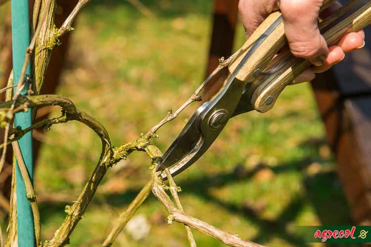 cięcie winorośli, kiedy przycinać winorośl