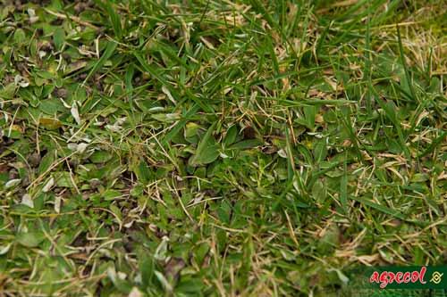 rozwiązywanie problemów na trawnikach, trawnik zachwaszczony, usuwanie chwastów z trawników, usuwanie mchu z trawnika, regeneracja trawnika