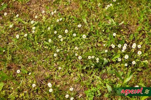 odchwaszczanie trawników