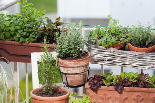 Pomidory na balkonie, uprawa pomidorów, zioła i warzywa na balkonie, uprawa ziół na balkonie, zioła na balkonie