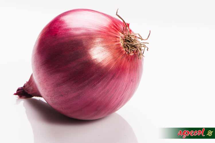 cebula, uprawa cebuli