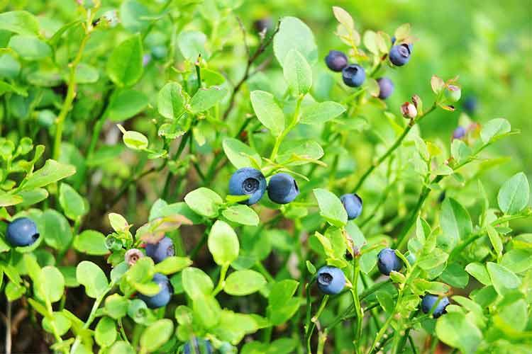 owoce leśne w ogrodzie, owoce leśne uprawa, nawóz organiczny do malin, nawóz organiczny do truskawek, nawóz organiczny do borówek, uprawa borówek, uprawa malin, uprawa jagód, jeżyn
