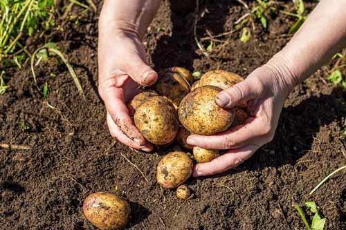 ziemniaki, uprawa ziemniaków, choroby ziemniaka