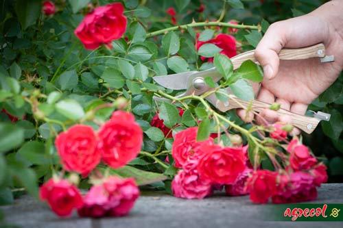 sadzenie róż jesienią, róże