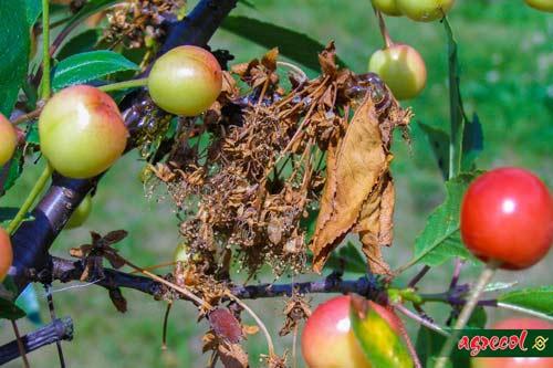 brunatna zgnilizna drzew, signum 33 WG, zwalczanie brunatnej zgnilizny