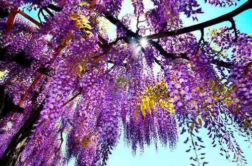 piękna, ale jakże ekspansywna glicynia, uprawa glicynii, wisteria