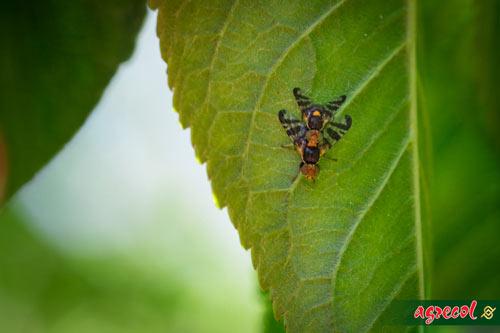 robaczywe czereśnie, nasionnica trześniówka, robaki w czereśni, oprysk czereśni