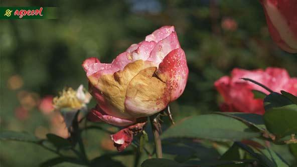 szkodniki róż, szkodnik róż, choroby róż, szkodniki róż