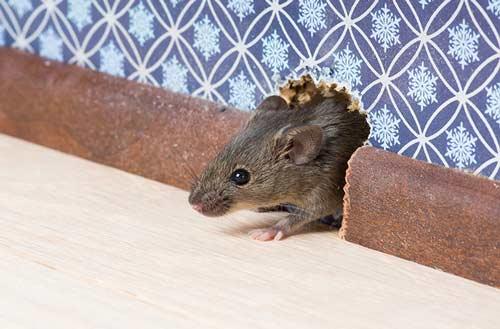Jak pozbyć się myszy i szczurów z domu, myszy, szczury, deratyzacja