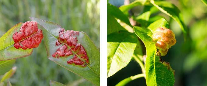 kędzierzawość liści brzoskwiń, opryski brzoskwiń