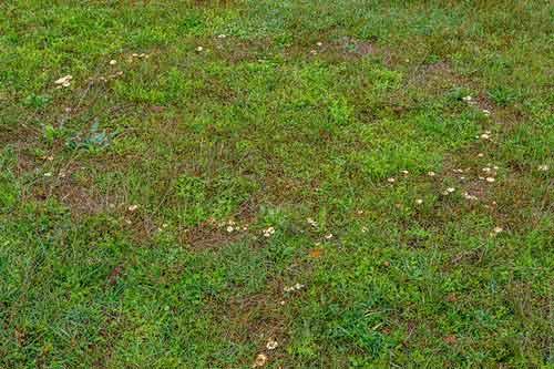 choroby grzybowe na trawnikach