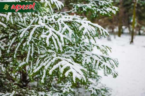 pielęgnacja iglaków po zimie, nawożenie iglaków