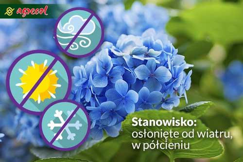 Niebieska hortensja jak zmienić kolor kwiatów, jak zabarwić hortensję na niebiesko, nawóz do hortensji, hortensja niebieska, jak nawozić hortensję niebieską