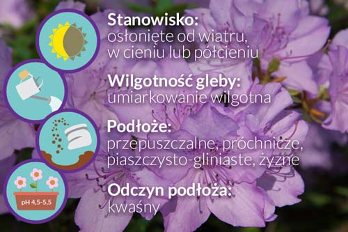 choroby różanecznika, choroby rododendrona, choroby azalii, fytoftoroza różanecznika, fytoftoroza na rododendronie, niedobory na rododendronie, nawóz do rododendrona