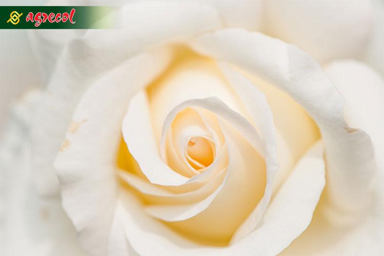 nawożenie róż, pielęgnacja róż