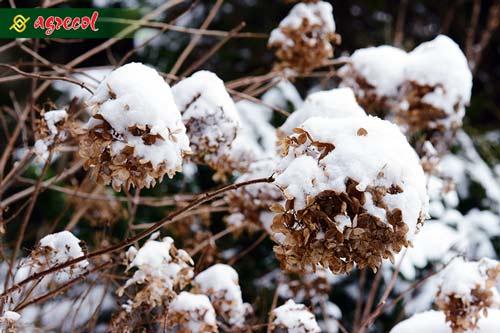 dlaczego hortensja nie kwitnie, hortensja zimą, nawożenie hortensji