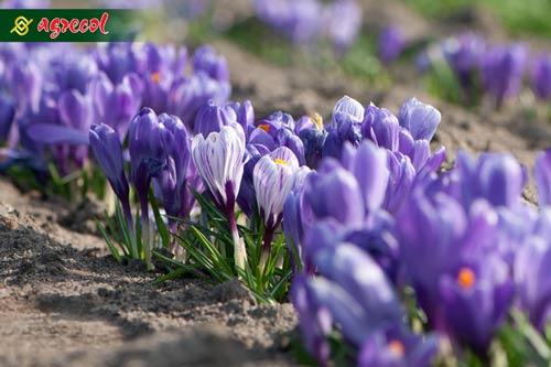cebulomania, nawożenie roślin cebulowych, sadzenie roślin cebulowych