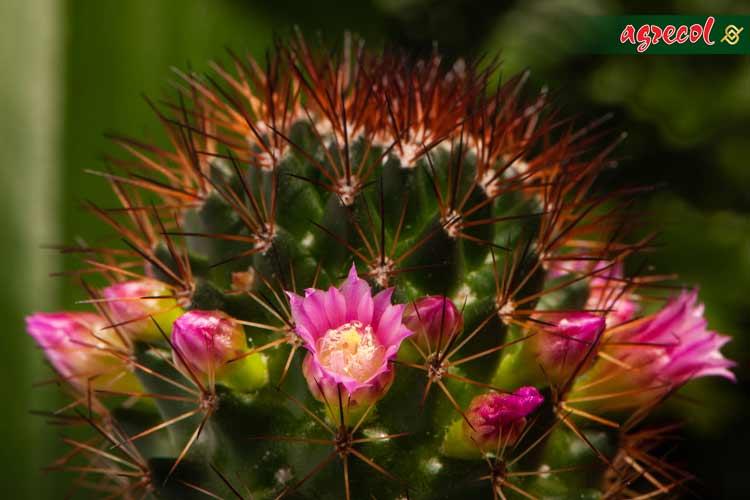 kaktusy, uprawa kaktusów, hodowla kaktusów, pielęgnacja kaktusów, nawożenie kaktusów, podlewanie kaktusów