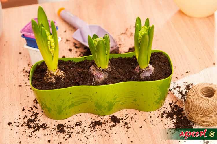 hiacynty, nawóz do hiacyntów, przesadzanie hiacyntów, nawóz do roślin cebulowych, nawożenie cebulowych
