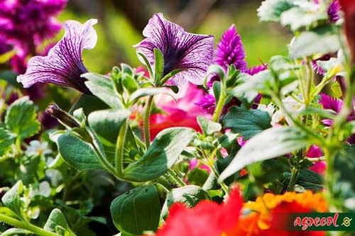 rośliny balkonowe, uprawa roślin na balkonie, nawożenie roślin balkonowych, nawóz do roślin balkonowych