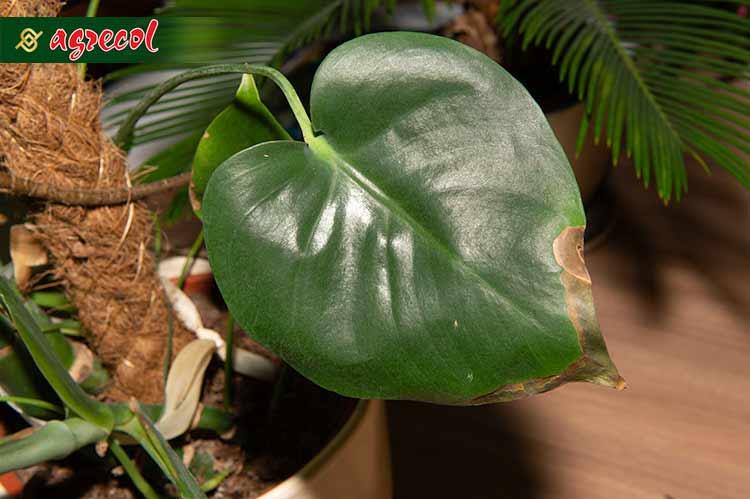 zmarznięta roślina, uszkodzenia mrozowe, przemarznięcie rośliny domowej, przemarznięcie rośliny doniczkowej