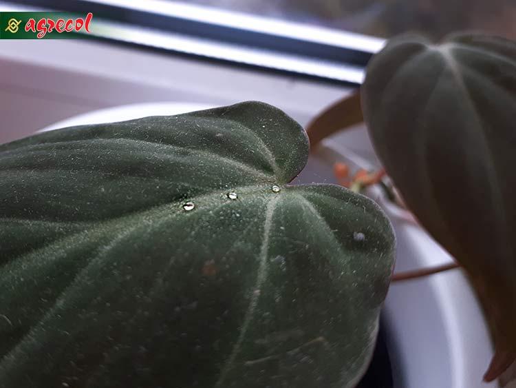 dlaczego rośliny płaczą, gutacja, transpiracja