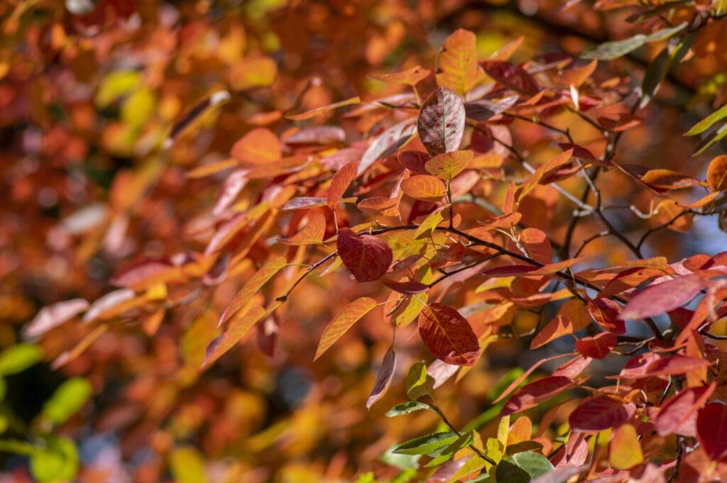 Świdośliwa – przebarwiające się liście