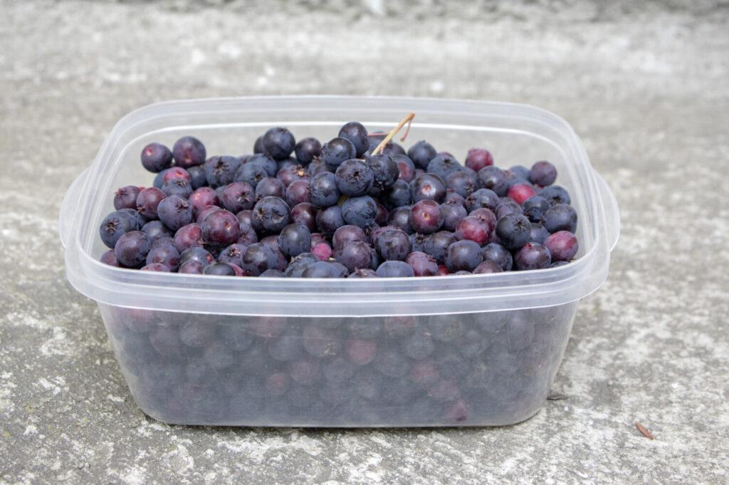 świdośliwa – zebrane owoce