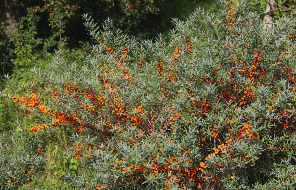 Rokitnik – gęsty krzew oblepiony pomarańczowy owocami