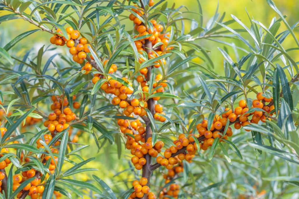 Rokitnik – dojrzewające owoce na krzewie
