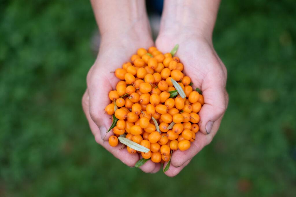 Zebrane owoce rokitnika