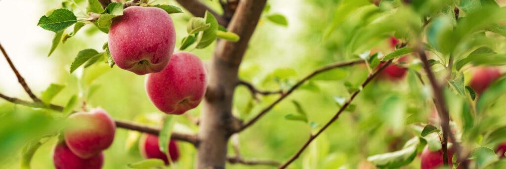 jabłoń, odmiany, sad