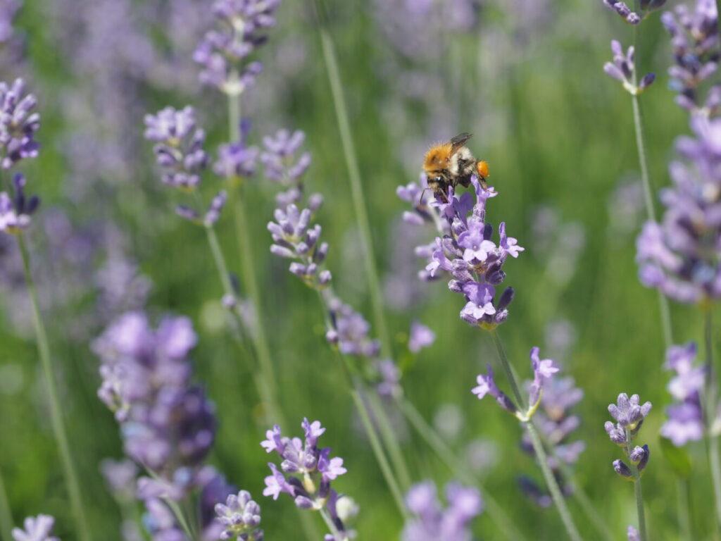 ekologia, trzmiel, pszczoła, zapylacz