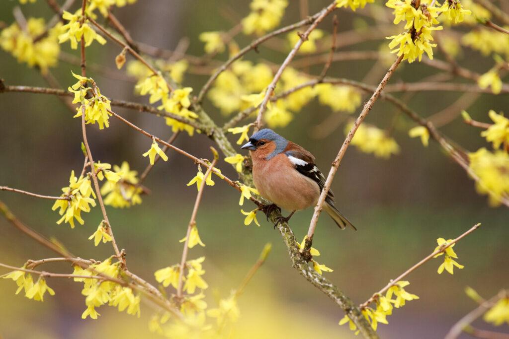 Ptak chroniący się w forsycji