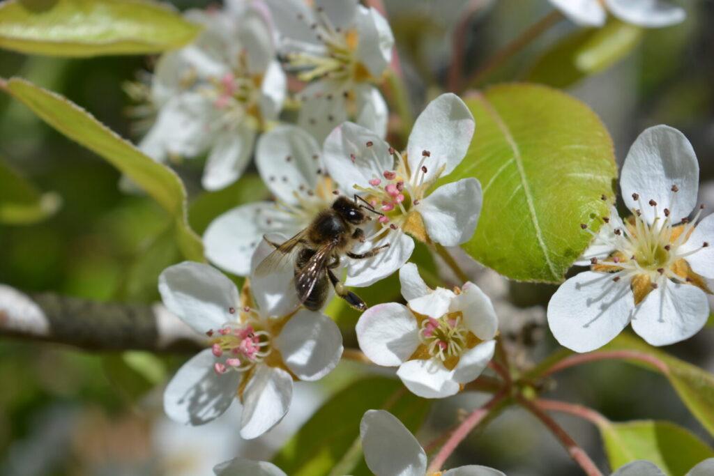 pszczoła samotnica na jabłoni