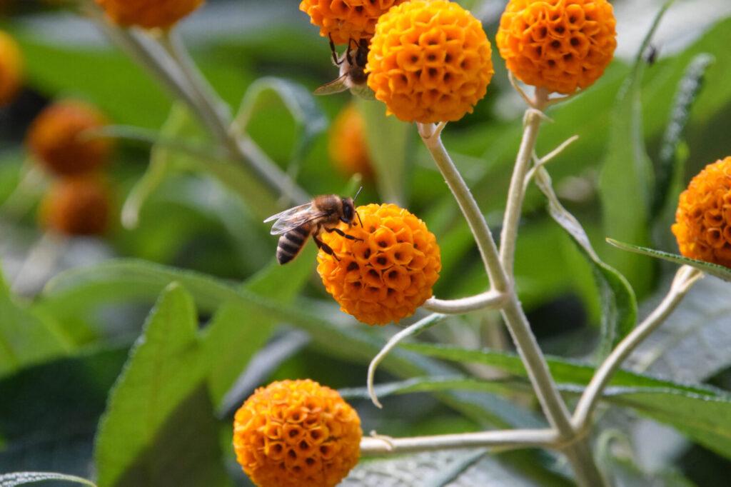 pszczoła na kraspedii