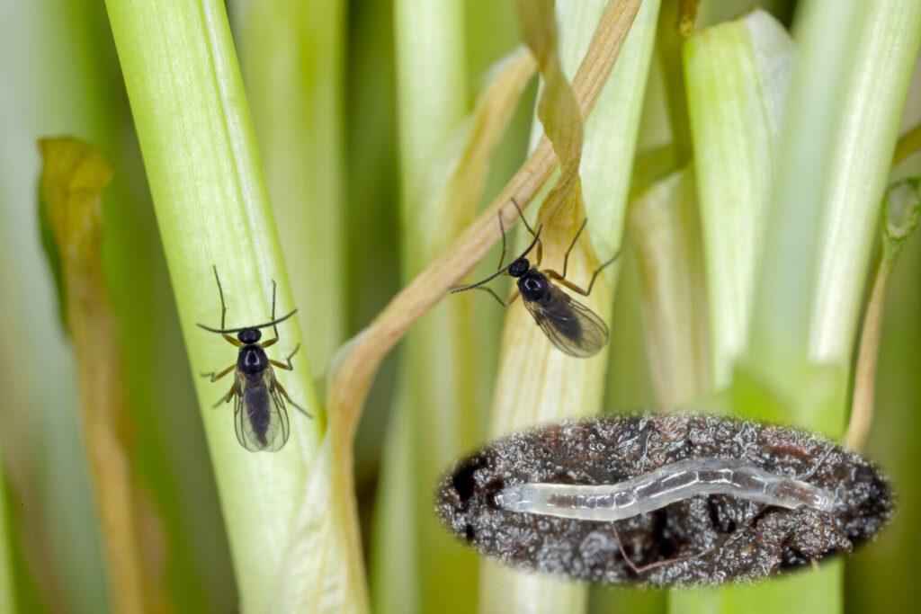 ziemiórki dorosłe oraz larwa