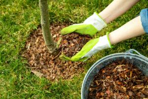 ściółkowanie posadzonego drzewa