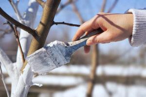 bielenie drzew zimą