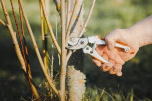 przycinanie po posadzeniu drzewa