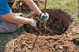 jak posadzić drzewo z odkrytym systemem korzeniowym